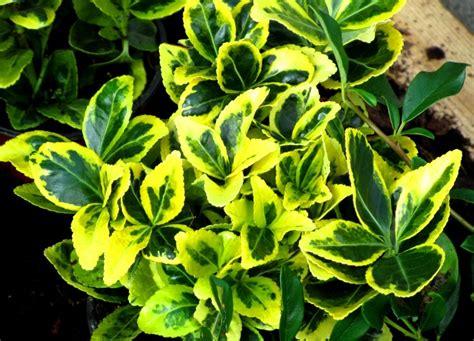 pflanze immergrün winterhart blühend euonymus japonicus japanspindel pflanzen versand kaufen