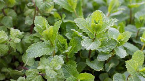 Der Duftende Garten Stellung by 10 Aromatische Kr 228 Uter Und Duftpflanzen Zum Wohlf 252 Hlen