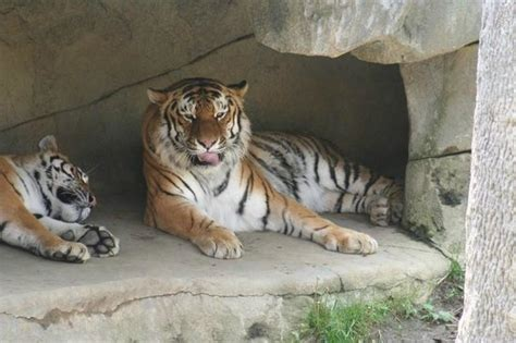 columbus zoo lights admission price tiger asia quest picture of columbus zoo powell
