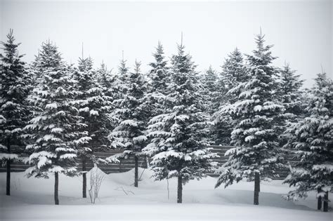 tree in the snow 8 things for the holidays you didn t about pine trees