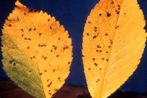 cherry tree yellow leaves cherry leaf spot ohioline