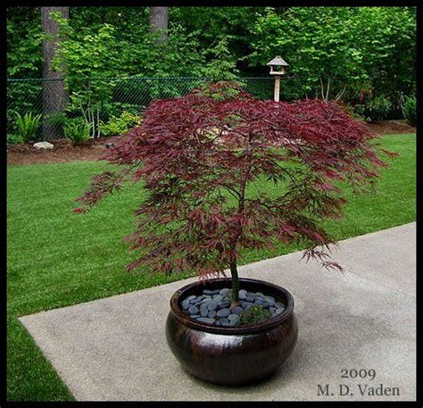 maple tree small yard japnesen maple japanese maple pruning garden ideas outdoor spaces tr 230 er