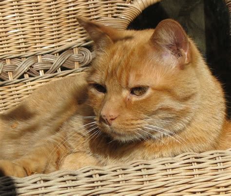 orange cat file orange tabby cat jpg wikimedia commons