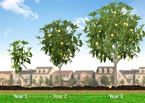 tree sales hass avocado trees hass avocado trees for sale for sale
