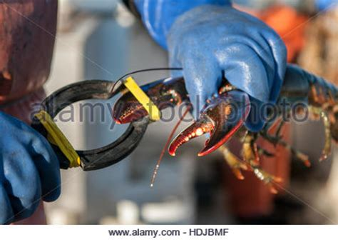 lobster rubber st lobster stock photos lobster stock images alamy