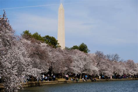 cherry blossom ten mile run to cause crowds road closures wtop