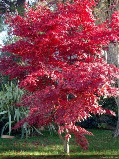 japanese maple tree zone 9 de 25 bedste id 233 er inden for acer palmatum p 229 havedesign landskabsdesign og buske