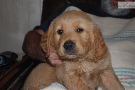 indiana adoption picture book golden retriever puppy for sale in indiana