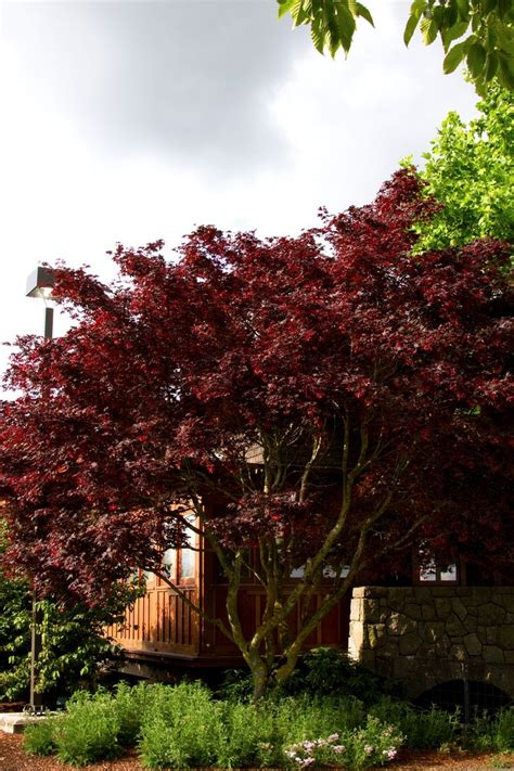 45 best images about acer nigrum black maple on trees canada and biology