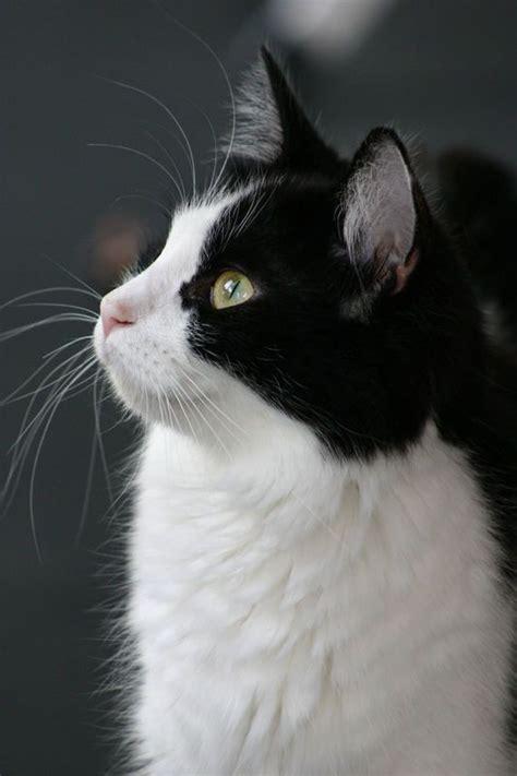 black and white cat black and white cat cats kittens tuxedos