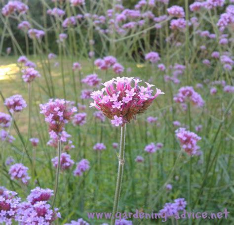garden flowers perennials perennial garden plants flower gardening advice for