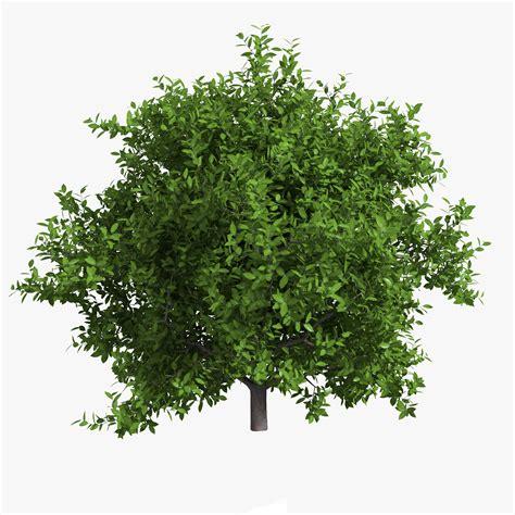 lime tree lime tree 3d max