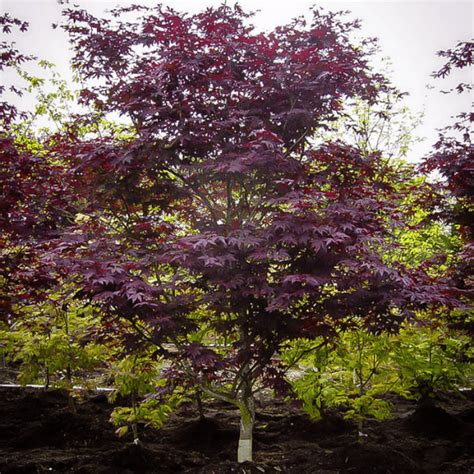 maple tree zone 10 emperor japanese maple for sale the tree center