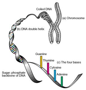 bead like proteins around which dna coils s tr june 2003