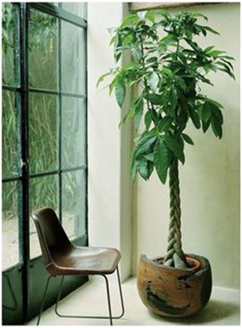 what is a tree called 1000 images about indoor plants on houseplant