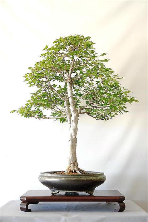 the of bonsai project feature gallery the best of bonsai today aob s styling contest