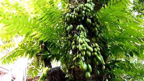 cucumber tree averrhoa bilimbi cucumber tree