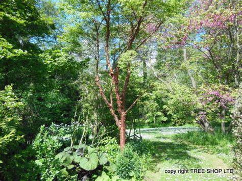 tree shop co uk paper bark maple tree acer griseum