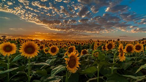 sunflowers in kansas kansas sunflower fields photograph by alex zabo