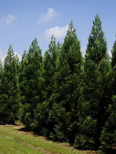 cheap trees canada evergreen privacy trees for sale the tree center