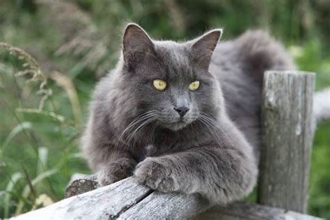 a cat for nebelung a cat from fairytales dinoanimals