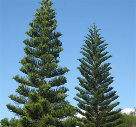 pinery trees norfolk island pine trees nature as and inspiration