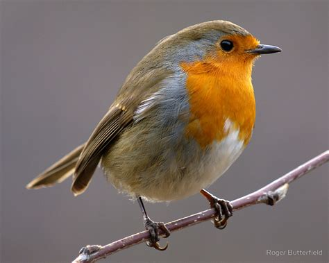 Posters Home Decor by Quot European Robin Quot By Roger Butterfield Redbubble