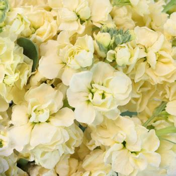light flowers stock light yellow flower