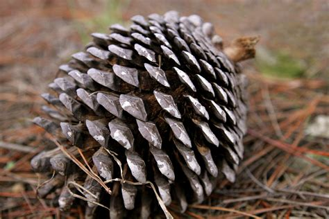 with pine cones file pine cone edit jpg