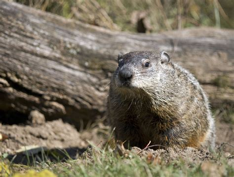 groundhog day meaning the origin of groundhog day