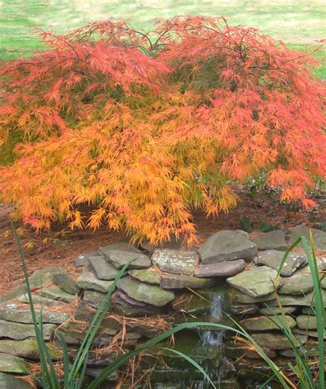 maple tree zone 10 green weeping japanese maple