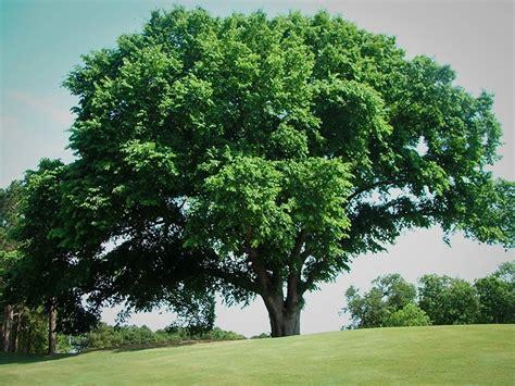 tree of ulmus elm tree m 233 ga centre groupe