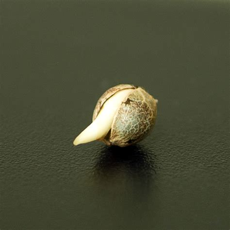 how to grow marijuana germinating marijuana seeds