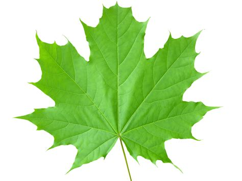with leaves leaf wallpaper 1600x1200 80813