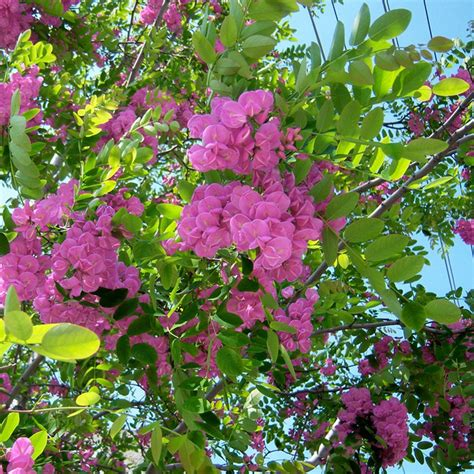 pink tree uk robinia pseudoacacia hispida buy acacia trees