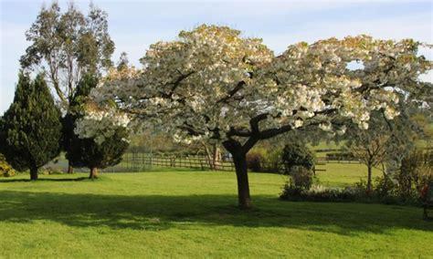 great white cherry trees buy ashridge nurseries