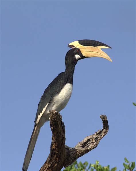 malabar pied hornbill malabar pied hornbill www