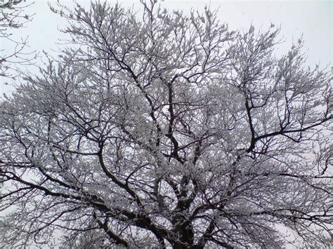 snowy tree pictures snowy tree pictures