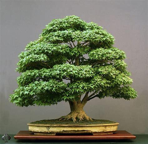 care guide for the japanese maple bonsai tree acer palmatum bonsai empire