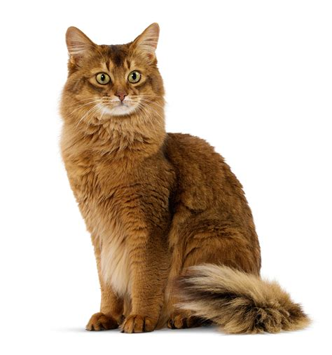 picture of a cat somali royal canin