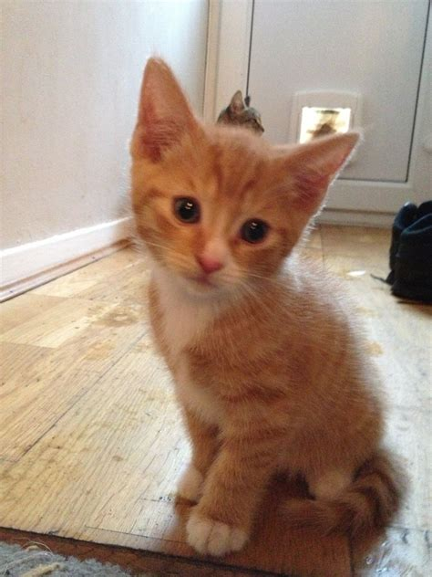 for cats tabby kittens for sale southton hshire