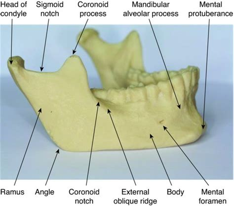 Floor Of Mouth Anatomy by 7 Skull And Oral Anatomy Pocket Dentistry
