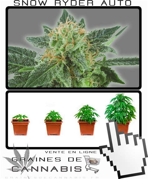 graines de cannabis 224 autofloraison snow