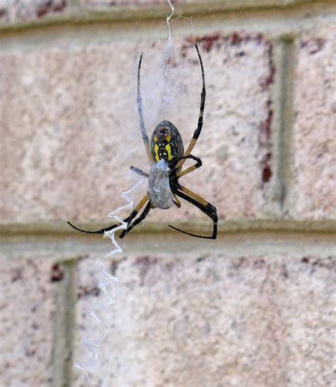 Garden Spider Prey Outside My Window