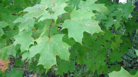 maple tree types three maple tree types doovi