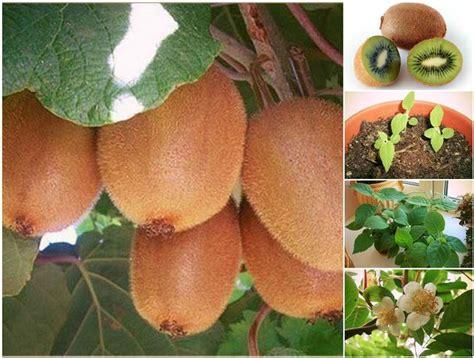 how to grow pineapple in a plant pot icreativeideas