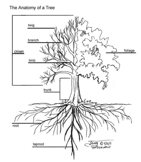 mulberry tree root system diagram images