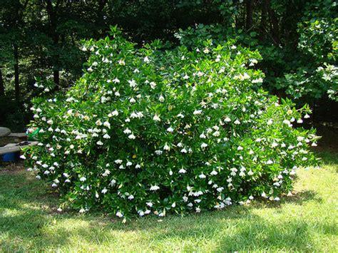 Gardenia Bush 2664574921 72cd44ca7e Z Jpg