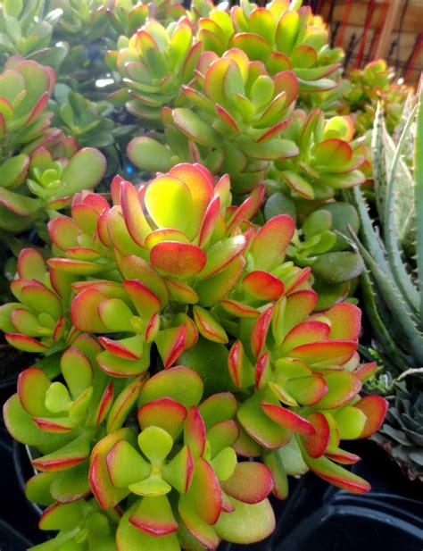low light succulents danger garden low light succulents