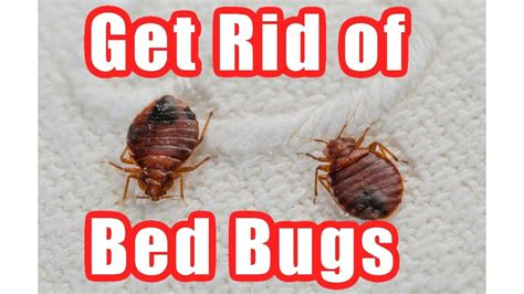 Get Rid Of Bed Bugs Fast by How To Get Rid Of Bed Bugs Fast At Home Diy Bed Bug Trap